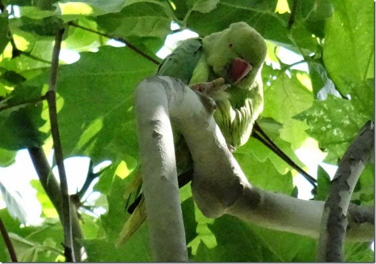 paris 2014 jardin des plantes parrot 051814 00009