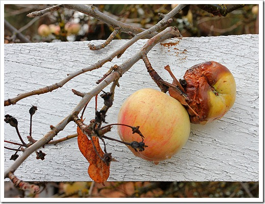 111124_apples_against_fence