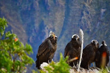 Condori la Colca Canion, Peru