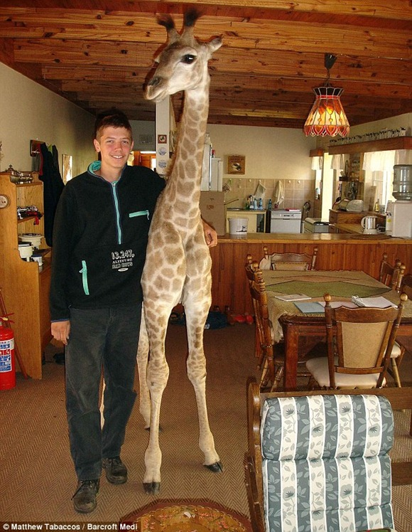 with the family pet giraffe Fenne at home in Cullinan