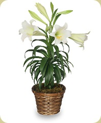Easter_Lily__75663_zoom