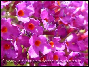 Buddleja davidii (Albero delle farfalle) (3)