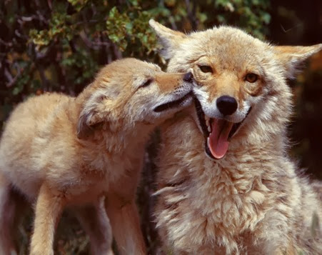 Amazing Pictures of Animals, Photo, Nature, Incredibel, Funny, Zoo, Coyote, Canis latrans, Alex (1)