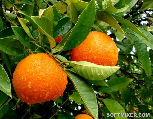 apelsin-kitajskoe-yabloko_1