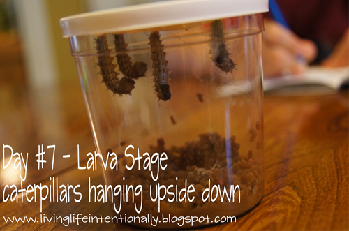 butterfly life cycle day 7 - larva stage