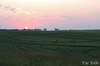 Sunset and Deer in the grain field