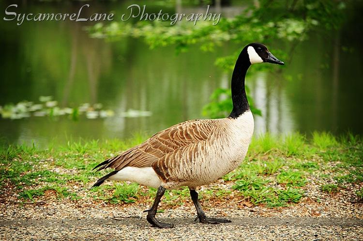 goose-2-w