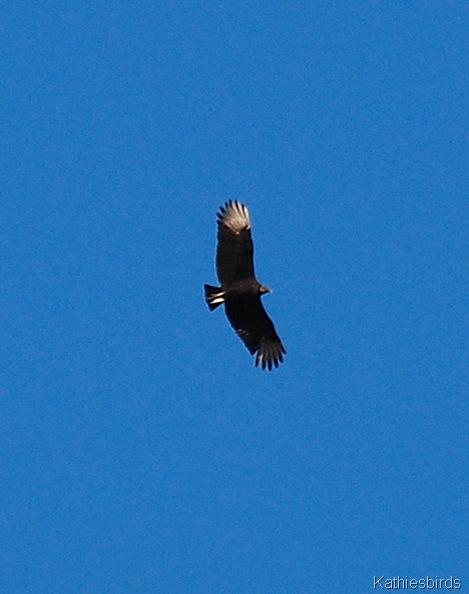 3. black vulture-kab