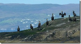 just cormorants