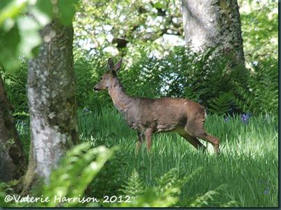 5-Roe-Deer