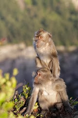 Macaque Monkeys at Kelimutu - Flores Island