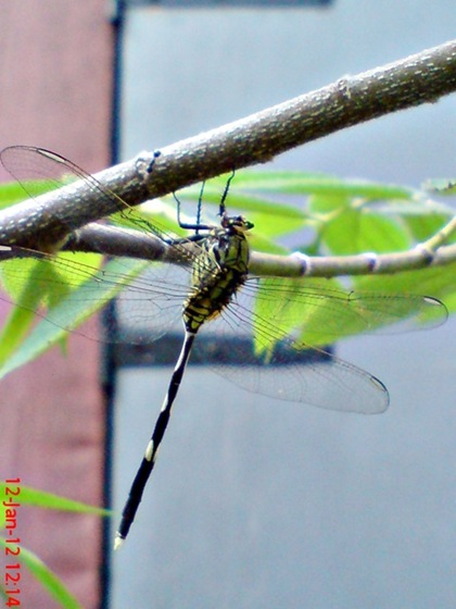 Orthetrum sabina - Green Marsh Hawk - Capung badak