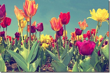 colorful-flowers-pretty-tulips-Favim.com-122159_large