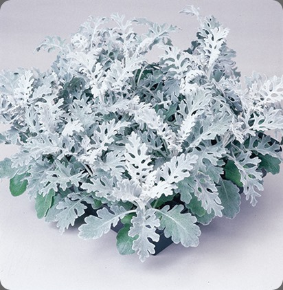 Dusty-Miller-silverdust parks wholesale plant dot com