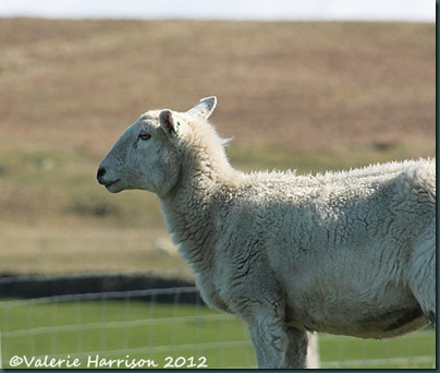 31-sheep