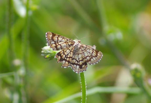 Geometridae : Ennominae : Chiasmia clathrata (LINNAEUS, 1758). Les Hautes-Lisières (Rouvres, 28), 2 septembre 2011. Photo : J.-M. Gayman