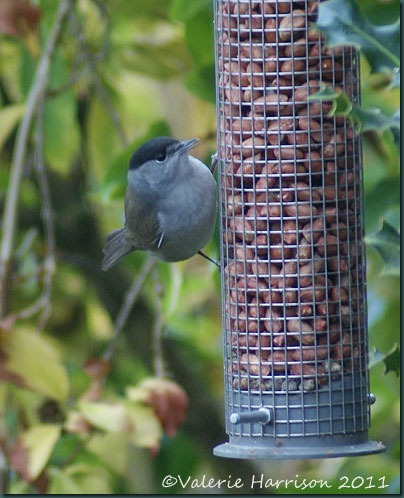 blackcap-4