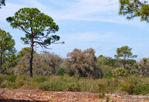 5. florida scrub jay habitat-kab