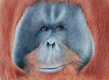 Amazing Pictures of Animals, Photo, Nature, Incredibel, Funny, Zoo, Bornean orangutan,Pongo pygmaeus, Primates, Alex (22)