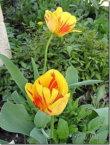 Tulips_YellowRembrandt