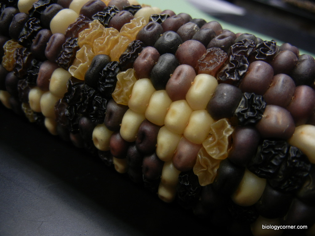 corn genetics chi square analysis lab report Corn dihybrid genetics objectives: the goals of this lab is to you and your tablemate will answer the following questions in your lab notebook 1 record the possible genotypes: corn genetics & chi square analysis.