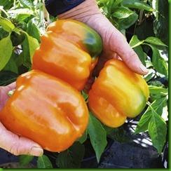 Pepper Etidua