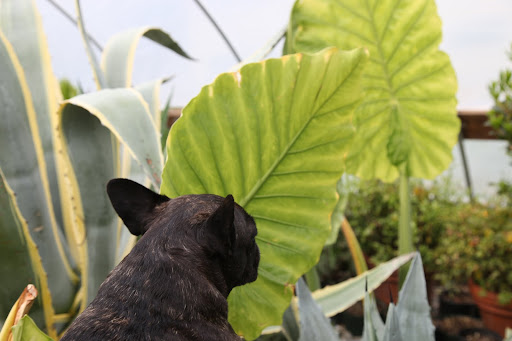 I wonder if this thick elephant ear leaf could support our weight if we sit on it and float on the little streams around the farm?
