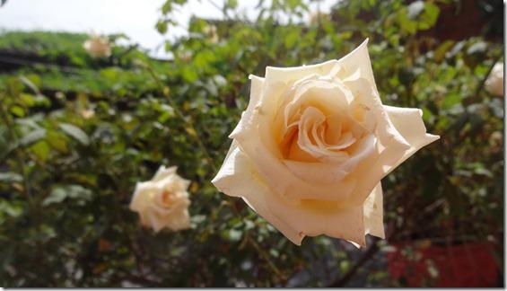flor-flores-rosas-imagens220