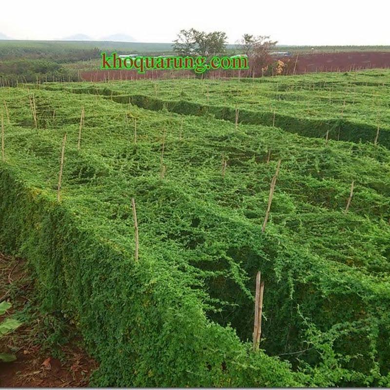 Hợp tác trồng và cung cấp rau sạch – Khổ qua rừng