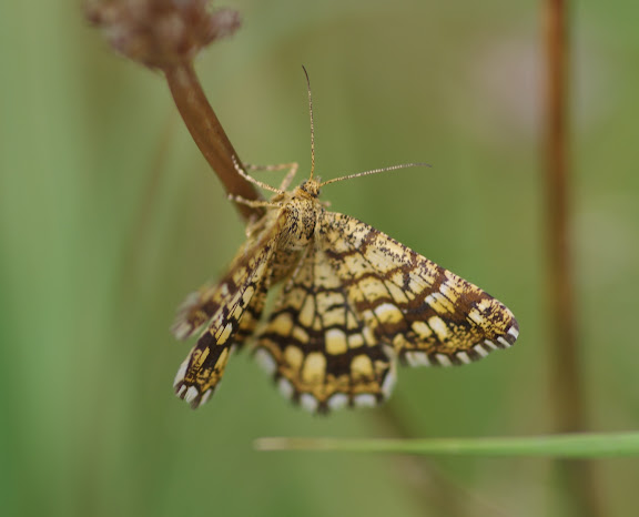 Geometridae : Ennominae : Chiasmia clathrata (LINNAEUS, 1758). Les Hautes-Lisières (Rouvres, 28), 24 août 2012. Photo : J.-M. Gayman