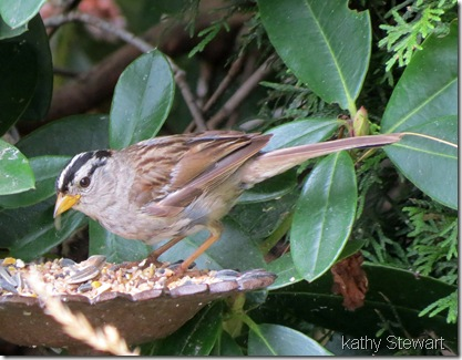 Worn White crowned Sparrow