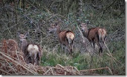 red deer hinds Feb 2014