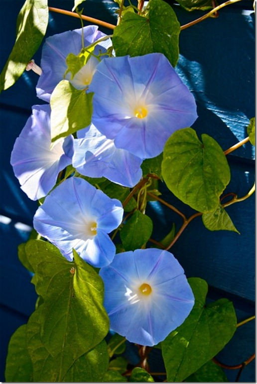 ipomea purpurea 1 'heavenly blue'.jpg