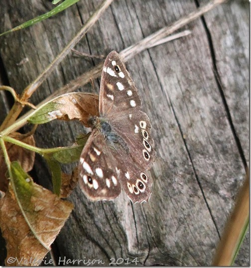 49-speckled-wood