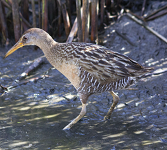 Clapper Rail Galveston Texas