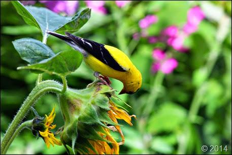GoldfinchSunflower1