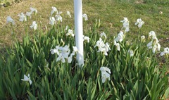 white irises feb 2013