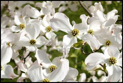 dogwood3