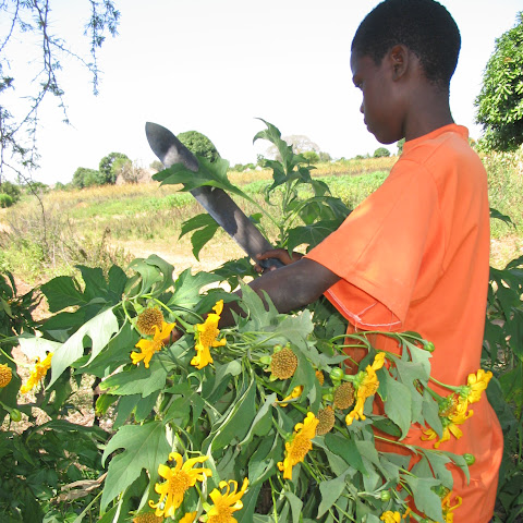 They plant this crop, mexican sunflower (or tithonia), on the edge of plots to stop soil washing away in floods. It is also a good 'green manure' that adds nutrients to plants.