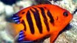 Nouvelle-Calédonie poisson-ange flamme