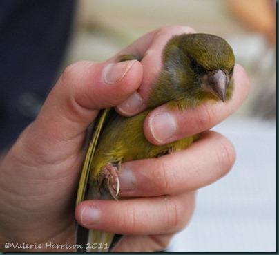 12-Greenfinch