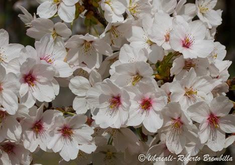 2014-03-21_Ciliegio giapponese_Lierna (39)