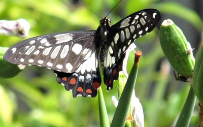 dingy swallowtail_butterfly 002 (Large)