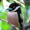 Black-And Yellow Broadbill-03.JPG