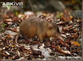 Amazing Pictures of Animals, photo, Nature exotic, funny, incredibel, Zoo, Solenodon, Mammalia, Alex (8)