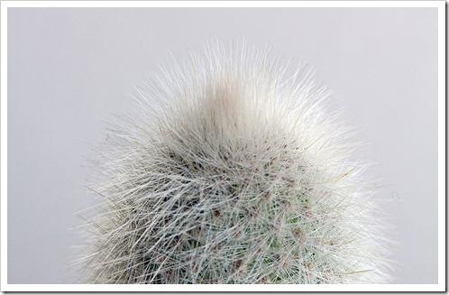 120106_Cleistocactus strausii   Agave Shira ito no Ohi_02