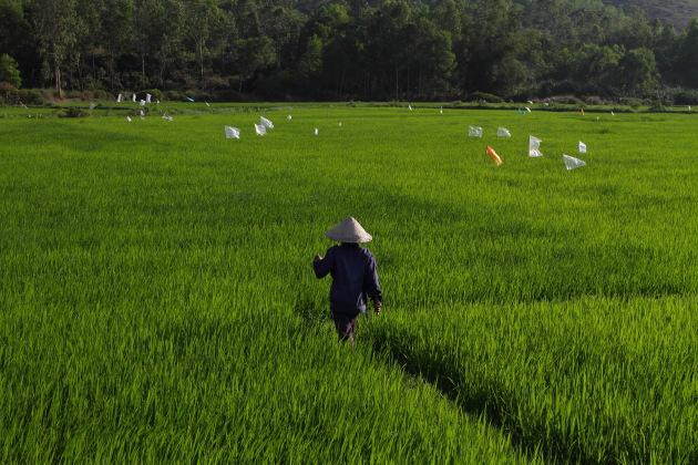 Vietnam Paddy Fields