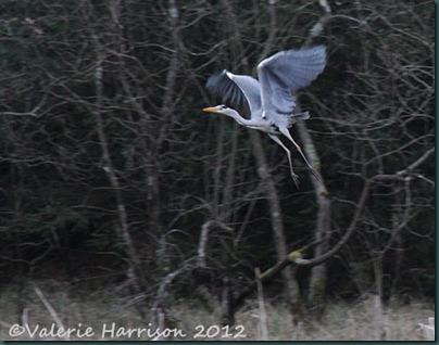 7-heron