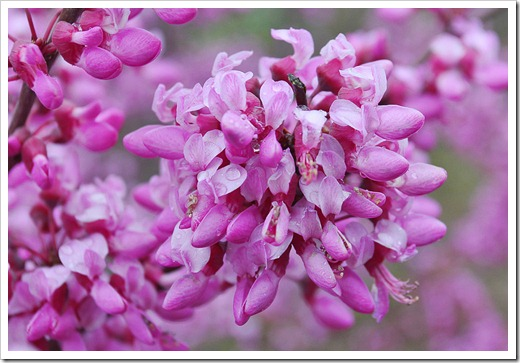 120313_Cercis-occidentalis_30