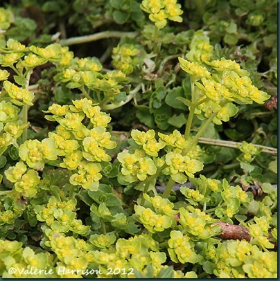10-oposite-leaved-golden-saxifrage